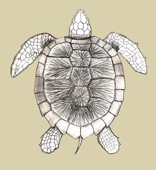 Diagram Parts Of A Turtle: Big Brook Sea Turtle Page